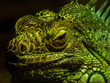 Large green iguana with shadows on its skin