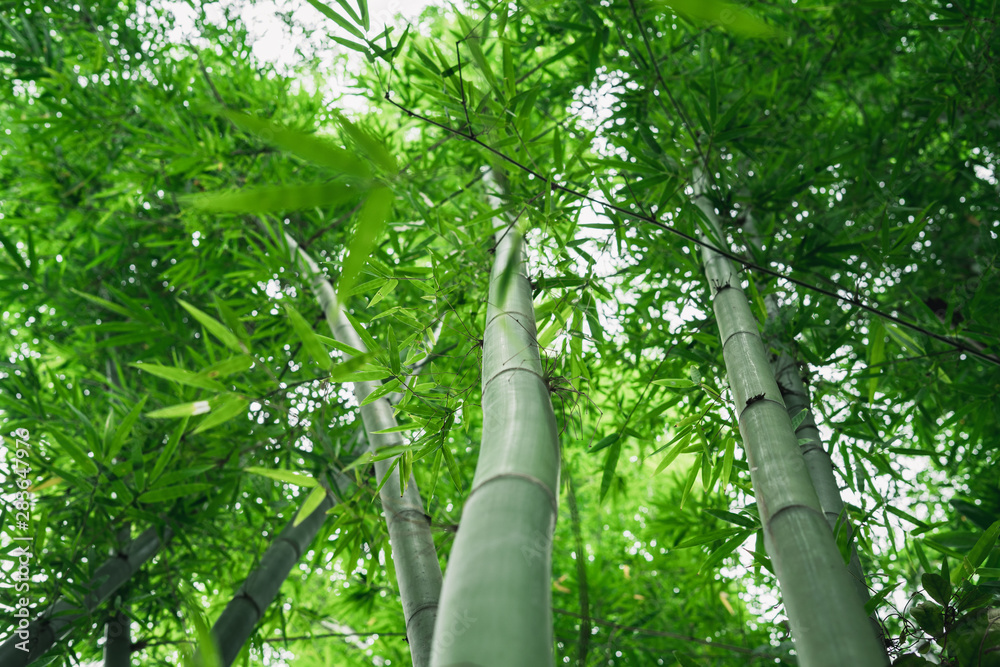 Fresh green bamboo and beautiful bokeh in the forest
