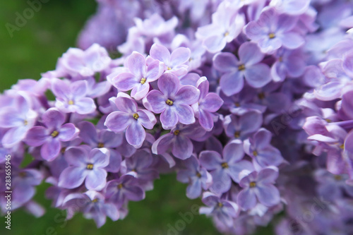 In de dag Lilac Spring blooming lilac. Lilac four and five petals flowers