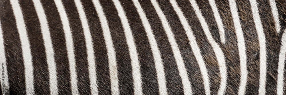 Fototapety, obrazy: Pattern of zebra skin useful for panoramic background