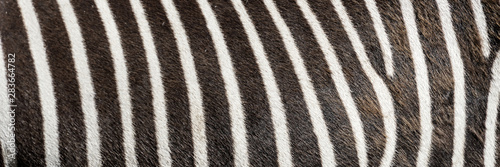 Aluminium Prints Zebra Pattern of zebra skin useful for panoramic background