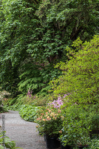 rhododendron forest with path along trees in summer Fototapete