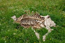 Animal Skeleton In The Grass