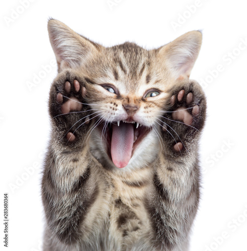 Valokuva Funny kitten cat portrait with open mouth and two paws uoisolated