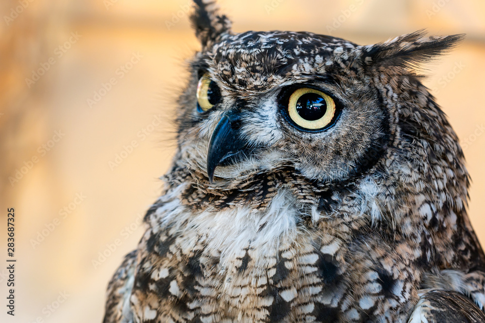 Fototapeta Close-up horned owl with big eyes watching