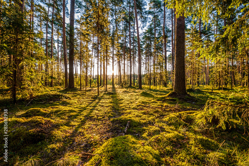 Photo  Early morning with sunrise in pine forest