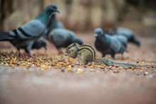 Squirrels And Pigeons Eat Together  In Jaipur