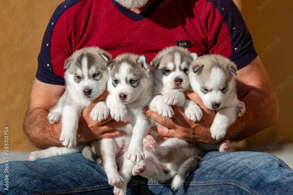 Fototapety, obrazy: Four puppies Siberian Husky. Litter dogs in the hands of the breeder. Little puppies.