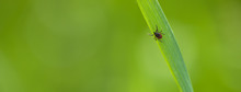 Tick (Ixodes Ricinus) Waiting For Its Victim On A Grass Blade - Parasite Potentionally Carrying Dangerous Diseases