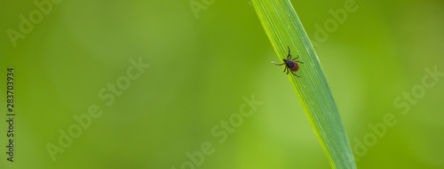 Fotografía Tick (Ixodes ricinus) waiting for its victim on a grass blade - parasite potenti