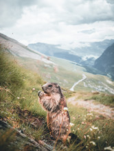 Portrait Of Alpine Marmot, Mar...