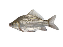 Fish Crucian Carp  Carassius