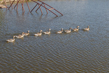A Large Group Of Goslings Swimming In Water In One Line
