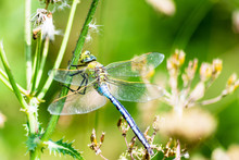 Emperor Dragonfly - Anax Imper...