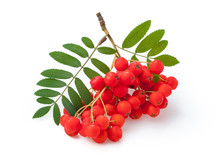 Red Ripe Bunch Of Rowan With G...