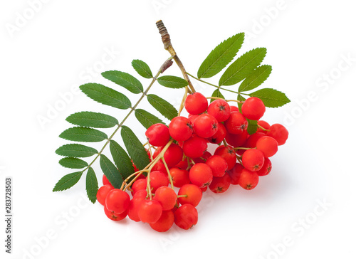 Photo Red ripe bunch of rowan with green rowan leaves isolated on white background
