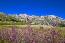 Epilobes Dans Les Alpes