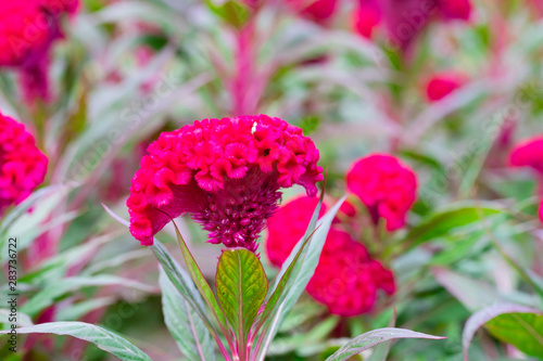 Fototapeta Field of red Cockscomb or Crested celosia in the park In the morning