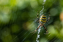 Wasp Spider In Tall Grass