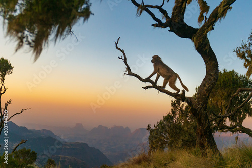 Gelada baboon sitting on a branch and watching the sunset