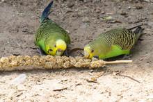 Two Green Budgerigars Feeding ...