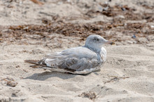 Young Seagull Is Sitting In Th...