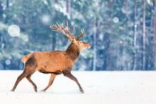 Fantastic Artistic Winter Christmas Wildlife Image. Deer Running In Snow Against Winter Forest. Wildlife Christmas Winter Seasonal Landscape.