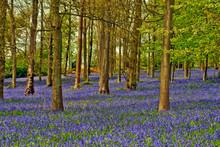 Bluebell Woods Greys Court Oxfordshire England UK