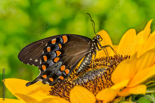 Spicebush Swallowtail Butterfly (Papilio troilus)