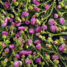 Flower Plant Background - Thistle Pattern Close Up. Herbal Thistle Flower And Leaves Top View. Medicinal Plants Flat Lay