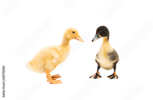 little geese isolated Canvas-taulu