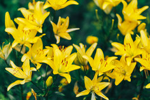 Vibrant Yellow Lilies In A Sum...