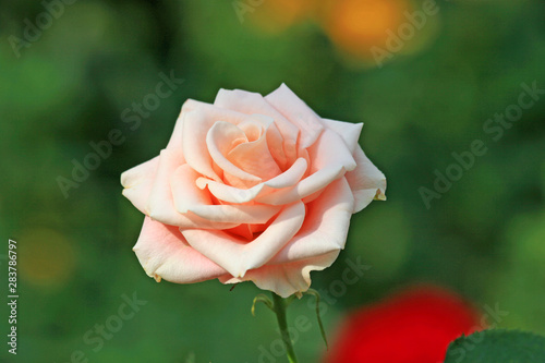Head of single pink rose