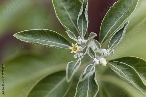 obraz lub plakat Flower of an ashwagandha plant, Withania somnifera