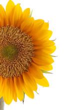 Fresh Beautiful Sun Flower