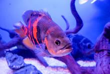 Oscar Fish, Astronotus Ocellat...