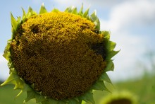 Close Up Of Giant Sunflower Head With Seeds, Selective Focus