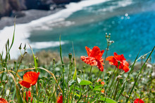 Poppy Seed Flowers And Other F...