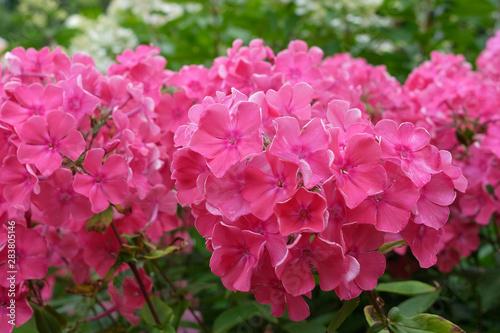 Spoed Fotobehang Roze Flowers of pink phlox, summer in the garden.