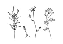 Set Of Hand Drawn Outline Wild Herbs. Plant Painting By Ink. Sketch Botanical Vector Illustration. Black Isolated Tansy And Loosestrife Wildflower On White Background