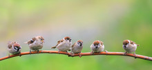 Beautiful Natural Background With Little Funny Chicks Sparrow Birds Sitting On A Branch In Sunny Summer Garden