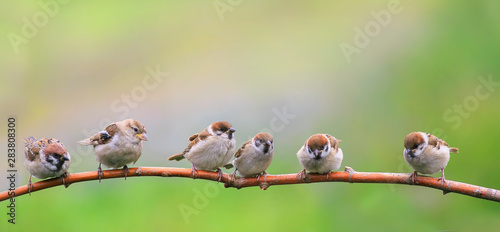 beautiful natural background with little funny Chicks Sparrow birds sitting on a Canvas Print