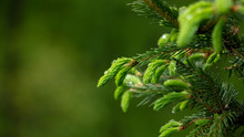 Young Needles Of Spruce, Behin...