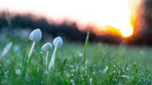 Background, White Mushrooms In Green Grass, With Dew Drops,