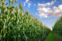 Close Up Of Corn Or Maize Field At Sunset. Agricultural Concept.