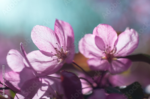 Fototapety, obrazy: blooming cherry