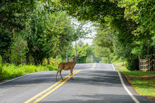 White Tail Deer (odocoileus Virginianus) Standing In The Middle Of A Pennsylvania Road. Pennsylvania Is One Of The Most Likely States In The Nation For A Collision With A Deer.