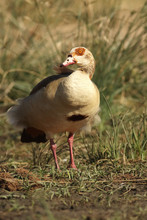 The Egyptian Goose (Alopochen ...