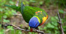 The Rainbow Lorikeet (Trichoglossus Moluccanus) Is A Species Of Parrot Found In Australia. It Is Common Along The Eastern Seaboard, From Northern Queensland To South Australia And Tasmania.