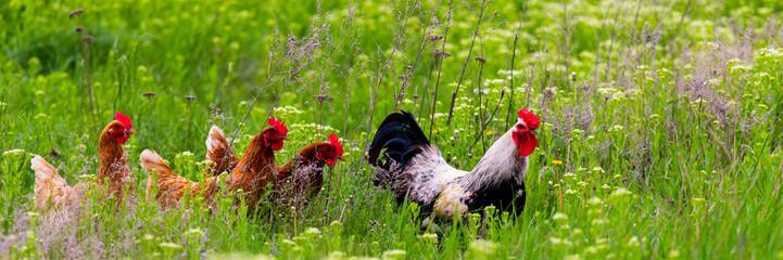 FototapetaRooster and hickens walking in green field